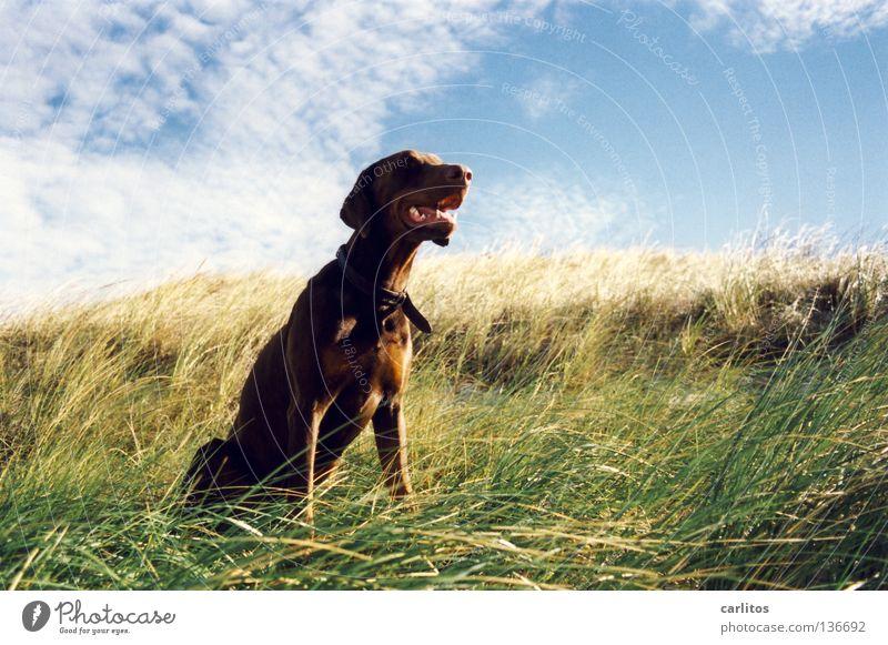 Zeitung lesen ... Dobermann Hund Wittern Sinnesorgane Strand Gras Meer Wellen toben Körperhaltung Angeben Säugetier Küste Freizeit & Hobby Carlitos Geruch