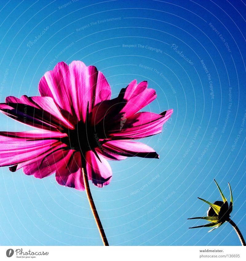 Montags-Blume schön Himmel Sommer Blüte Park ästhetisch Schönes Wetter Blütenknospen Beet Blauer Himmel Astern Schmuckkörbchen Sommerblumen