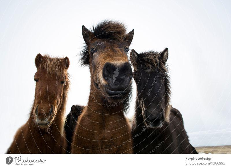 Curious Icelandic horses in spring Ferien & Urlaub & Reisen Tier Wildtier beobachten Abenteuer Pferd Island