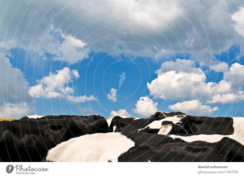 Schwarzwaldhorizont Wolken schön weiß Kuh Landwirtschaft Horizont schwarz Himmel Säugetier Wetter blau Rücken Kontrast