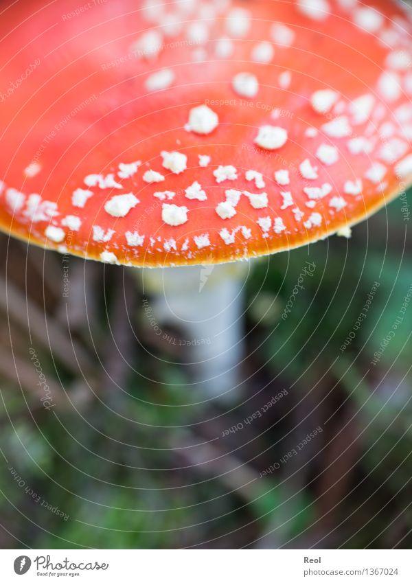Fliegenpilz Umwelt Natur Landschaft Pflanze Urelemente Herbst Grünpflanze Wildpflanze exotisch Pilz Pilzhut Wiese Wald Wachstum wild rot weiß Warnung Vorsicht
