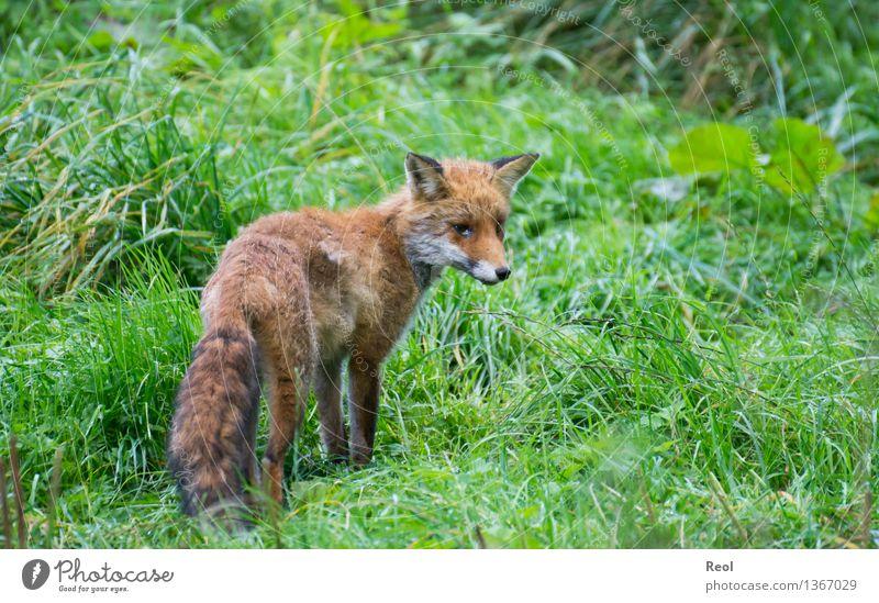 Fuchs III Natur Pflanze Tier Gras Wiese Wald Wildtier 1 wild braun grün rot Jagd Rotfuchs Wachsamkeit frei strubbelig Fell Farbfoto Gedeckte Farben