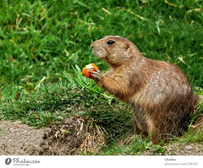 Präriehund (Cynomys) Erdhörnchen Murmeltier Ziesel Nagetiere Hund Steppe Fell Schüchternheit Tier Säugetier Amerika Geschwindigkeit Fressen Höhle grün grau