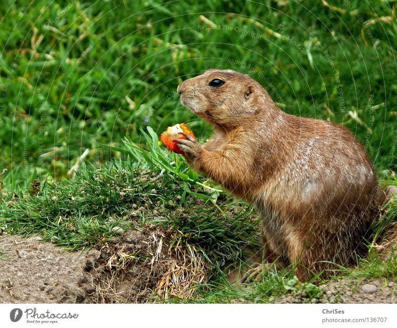 Präriehund (Cynomys) grün Ernährung Tier Haare & Frisuren grau Hund braun orange Geschwindigkeit Afrika Wüste Fell Wildtier Amerika Fressen Säugetier