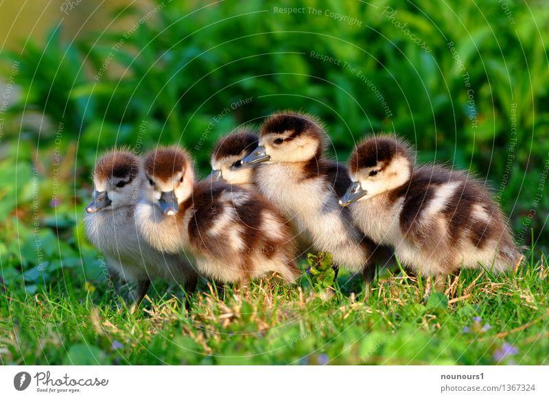 Brüderchen und Schwesterchen Tier Tierjunges Wiese Wildtier sitzen Tiergruppe niedlich weich Schutz frieren Hilfsbedürftig hocken Gans Küken heizen behüten