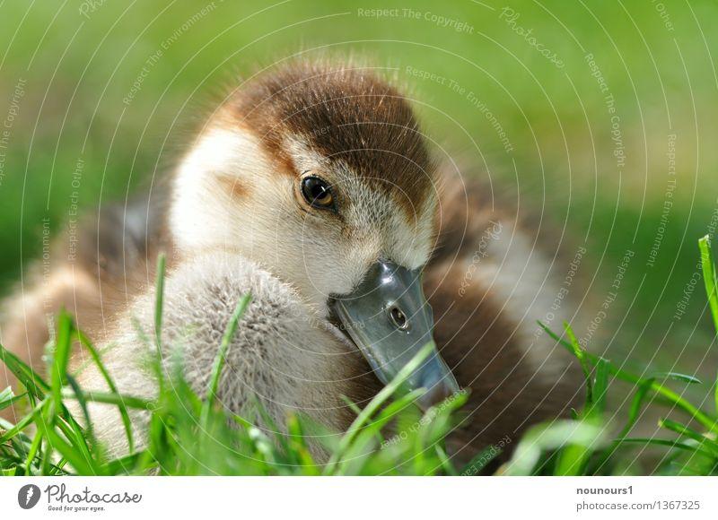"""Nilgansküken in der wiese Tier Wildtier Tiergesicht nilgans 1 Tierjunges hocken sitzen kuschlig natürlich niedlich braun gelb """"flauschig natur putzig vogel"""