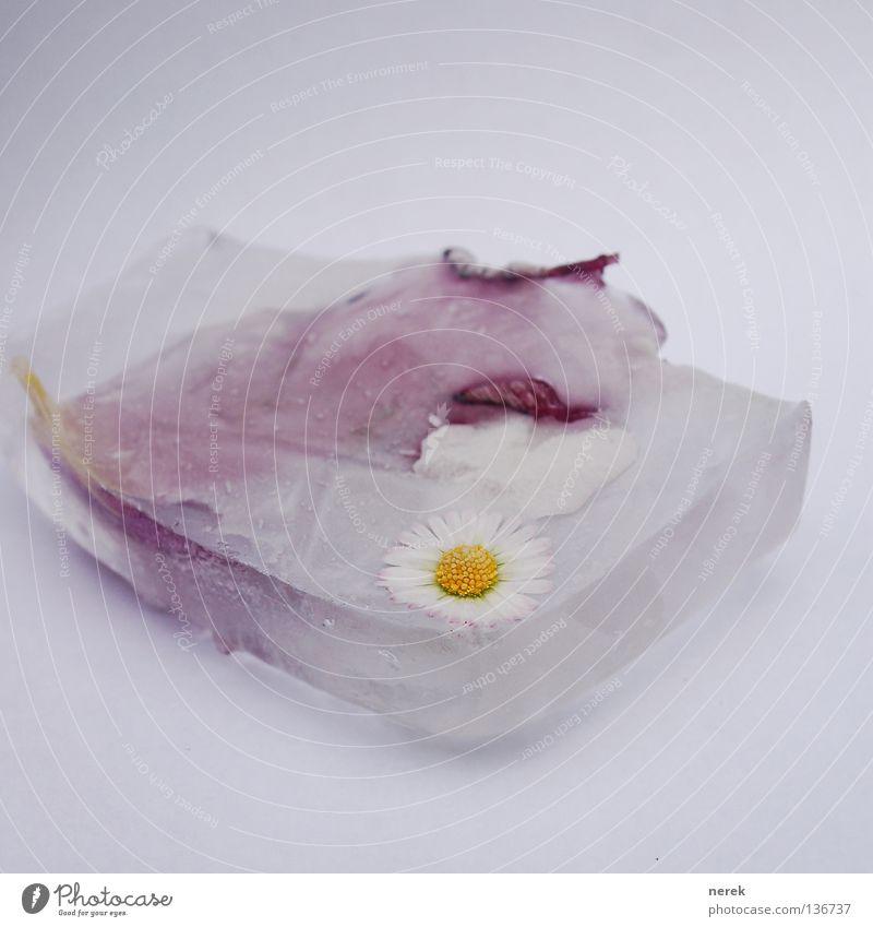 Kalter Frühling kalt emotionslos Blume Gänseblümchen Eisblock Kühlschrank warum Klimawandel Vergänglichkeit Wissenschaften Kunst Kultur tiefgefroren frech