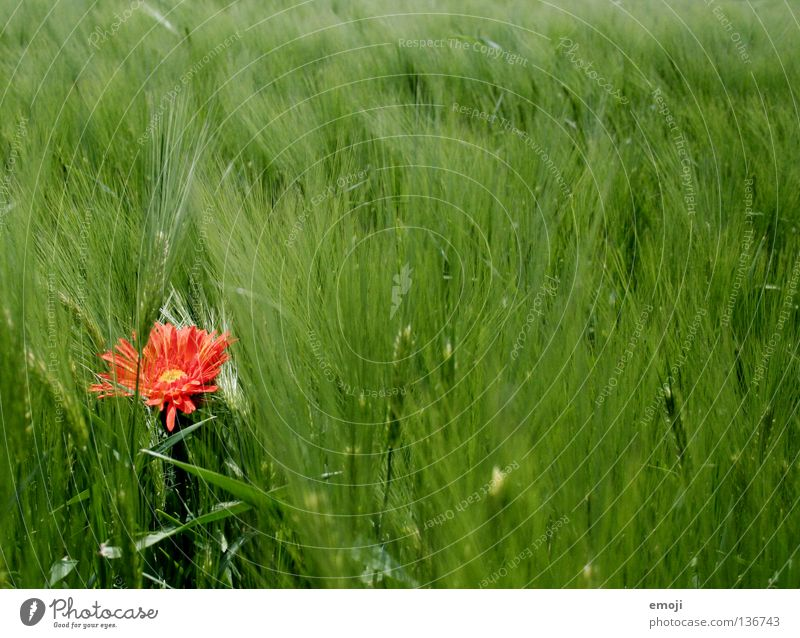 # Blume rot Farbfleck Fleck Tier mädchenhaft Kornfeld Feld Weizen Weizenfeld Mitte gelb Frühling Sommer springen Fröhlichkeit süß falsch Gelächter Kitsch