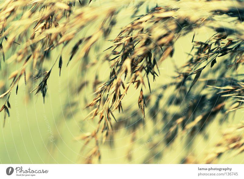 Am Ufer... Schilfrohr Gras zart klein leicht See Biotop Frühling Binsen Halm Grasland Pflanze Wiese Licht Ähren Umwelt Süßgras träumen Erholung Feng Shui
