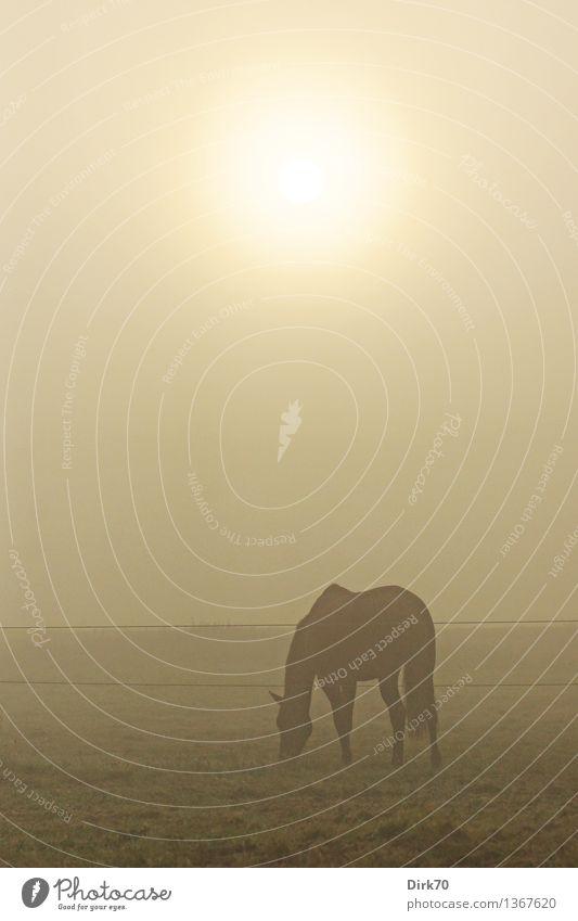 Im Nebel Reiten Landwirtschaft Forstwirtschaft Himmel Sonne Sonnenlicht Herbst Gras Wiese Feld Weide Weidezaun Tier Haustier Nutztier Pferd 1 Fressen dunkel