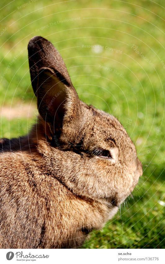 Mümmeltier Wiese Haustier Säugetier Hase & Kaninchen Futter Osterhase Sommertag Zwergkaninchen