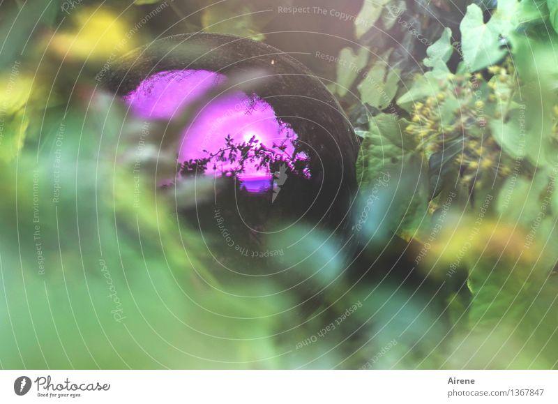 lila Glasdings in Efeu Pflanze grün schön Garten glänzend Design Idylle Fröhlichkeit ästhetisch einzigartig retro Kultur Romantik rund violett