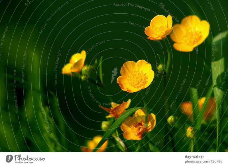 Auf der Sonnenseite Hahnenfuß Pflanze gelb Blüte Gras Halm See grün Blütenblatt Trollblume Natur Pollen Küste böschung Schatten reflektion