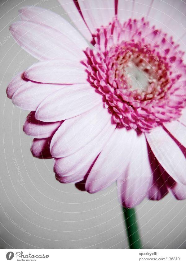 Gerbera Blume Blüte rosa Pflanze Sommer Flower Vignette Grauschleier