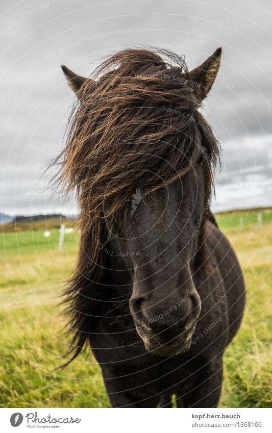 Wind Island Tier Pferd Islandpferd Pony Isländer 1 Blick stehen Coolness frech wild Kraft Gelassenheit Mähne schwarz standhaft Farbfoto Außenaufnahme