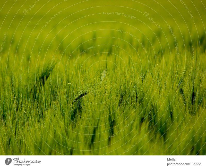 Getreidemeer Gerste Feld grün Landwirtschaft Frühling weich Wellen Ferne Ähren ökologisch Umwelt Gentechnik Wachstum Reifezeit Mai Korn Ackerbau
