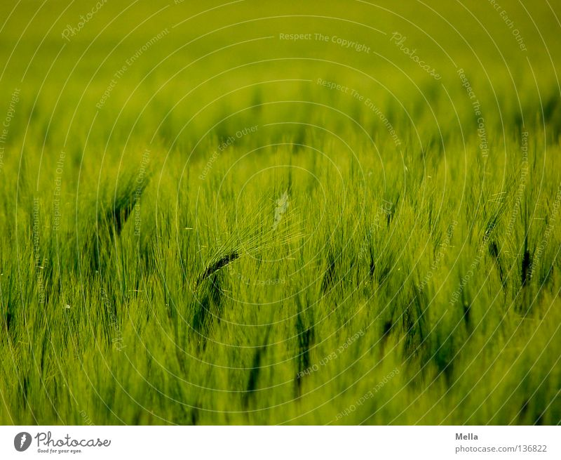 Getreidemeer grün Pflanze Ferne Frühling Feld Wellen Umwelt Wachstum weich Schutz Getreide Landwirtschaft Ernte Korn Ackerbau ökologisch