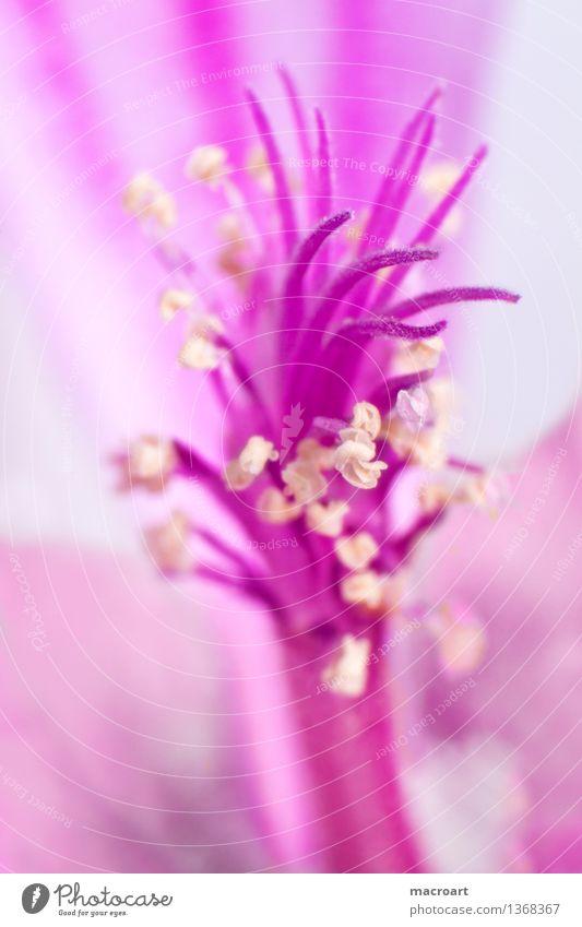 Makro- Wilde Malve Malvengewächse rosa Pollen Staubfäden extrem Makroaufnahme Nahaufnahme Detailaufnahme Pflanze Blume Blüte Blühend Natur natürlich Frühling