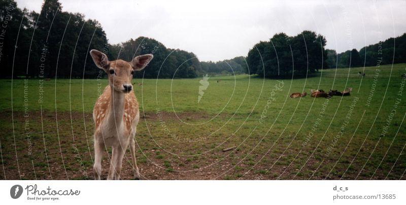 Kleines Reh Gras Wald Tier Verkehr Weide Natur Wildtier
