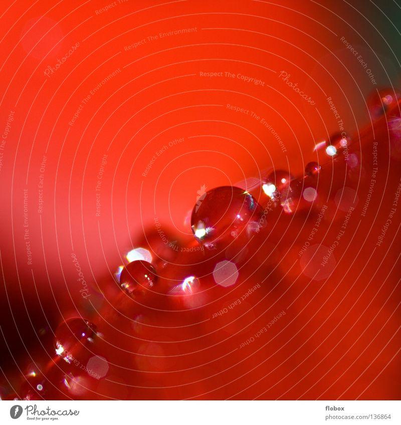 Perlchen Natur Wasser schön Pflanze rot Blume Blatt Farbe Blüte Regen Wassertropfen Seil einzigartig Dekoration & Verzierung Biene Stengel