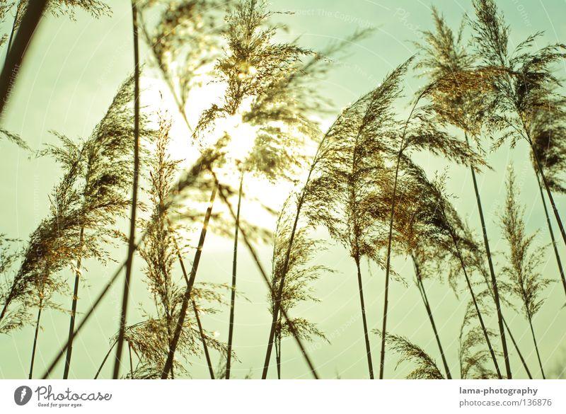 Die Wogen des Windes Schilfrohr Gras zart klein leicht See Biotop Frühling Binsen Halm Grasland Pflanze Wiese Gegenlicht Sonne blenden Strahlung Beleuchtung