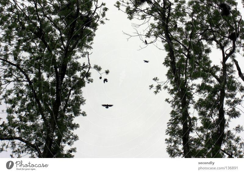 Dickmadam Himmel grün schön Baum grau klein Vogel Nest Rabenvögel üppig (Wuchs)