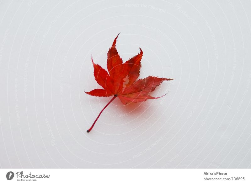 Colored leaves Japan Herbst autumn leaf white fallen one flag