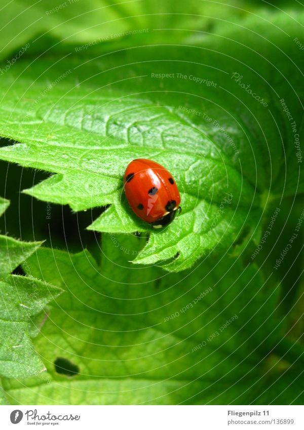 Marienkäfer auf Brennessel 2 Natur Pflanze Blatt Tier 1 entdecken Erholung hell natürlich saftig grün rot Glück Zufriedenheit schön ruhig Brennnessel grasgrün