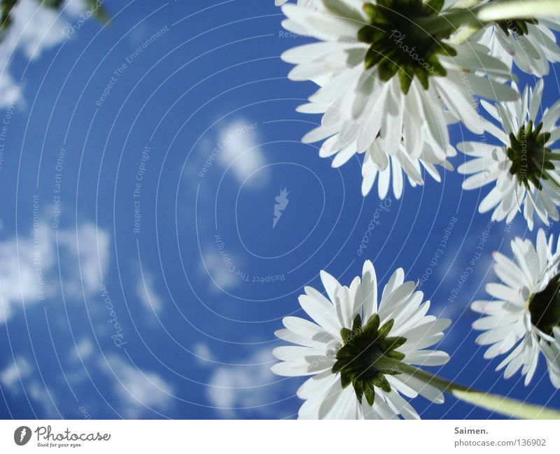 weiße Riesen Himmel Blume blau Wolken Ferne Frühling Freiheit hell klein groß Kraft Perspektive paarweise rein Stengel