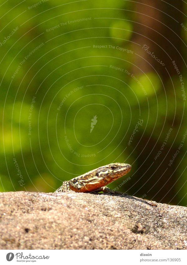 Podarcis muralis 2 Echte Eidechsen Reptil Echsen Schwanz Krallen Mauer Burgruine Weinberg heizen genießen Tier klein Geschwindigkeit echte Eidechse Scheune