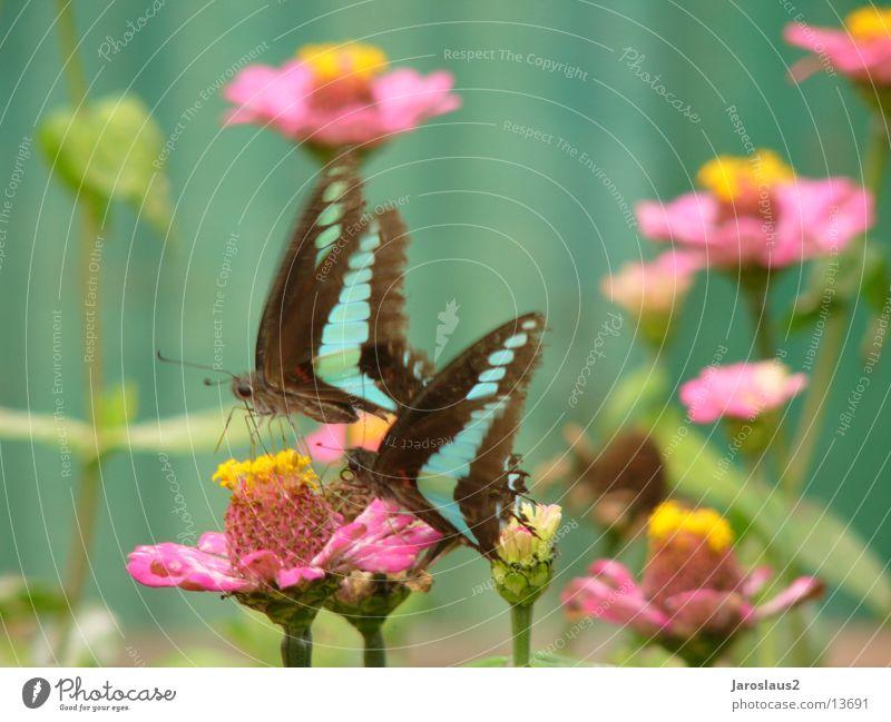 asiatische Sommerfalter Blume Blüte Asien zart Schmetterling China sanft Pollen