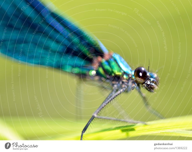 Dragonfly Gras Tier Flügel beobachten fliegen krabbeln Libelle Insekt Makro Auge grün schillernd changieren Farbfoto Außenaufnahme Nahaufnahme Tag Tierporträt