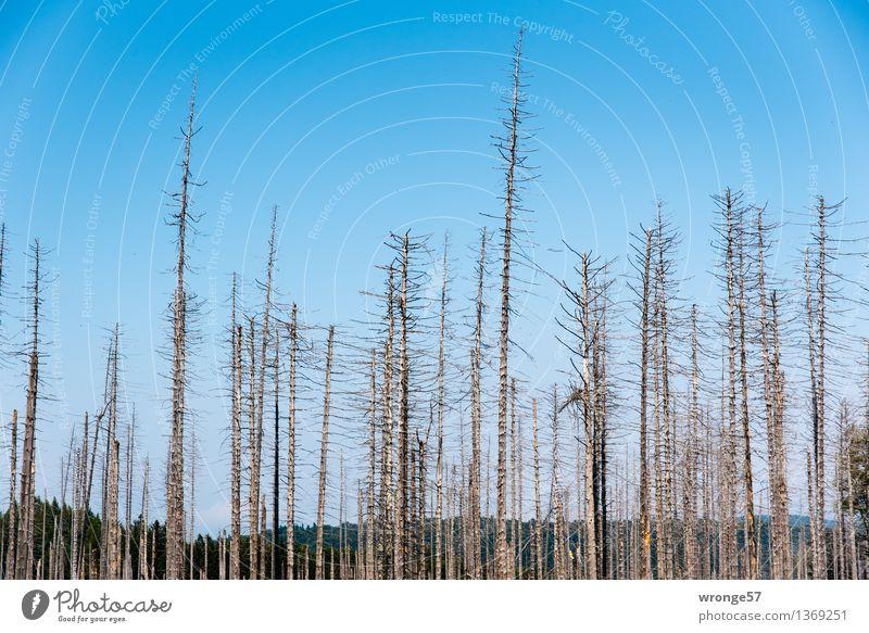 Totwald Umwelt Natur Landschaft Pflanze Himmel Wolkenloser Himmel Herbst Schönes Wetter Baum Fichtenwald Wald Berge u. Gebirge Mittelgebirge Harz Holz alt