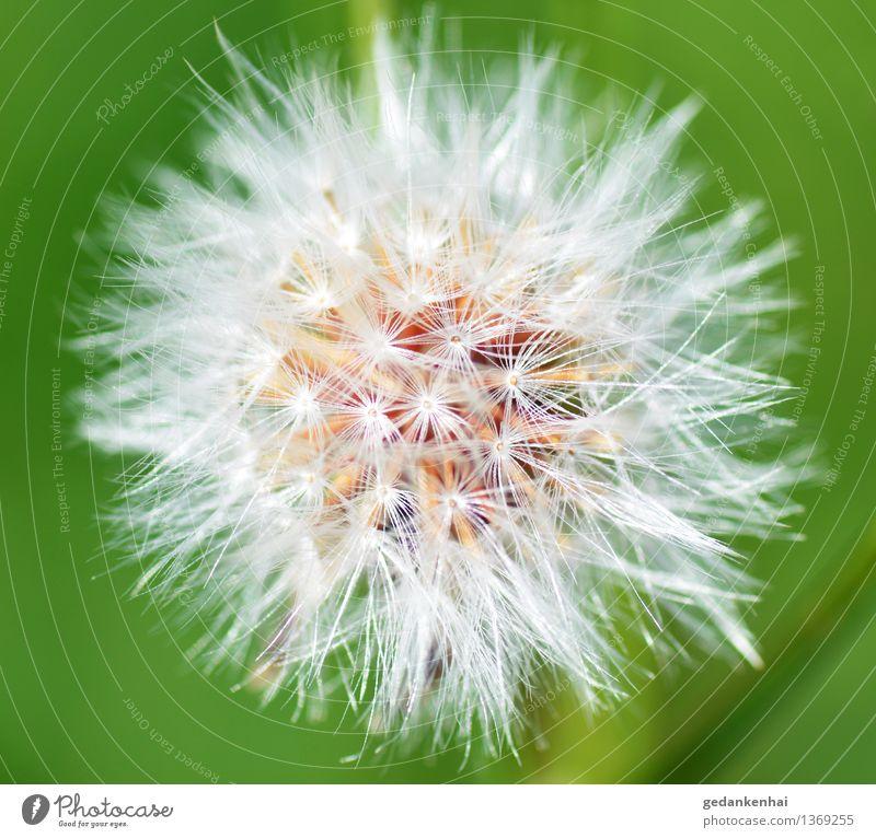 Pusteblume Umwelt Natur Pflanze Blüte Wildpflanze Garten Blühend fliegen schön Frühlingsgefühle ruhig filigran Leichtigkeit pusteblume löwenzahn grün Farbfoto