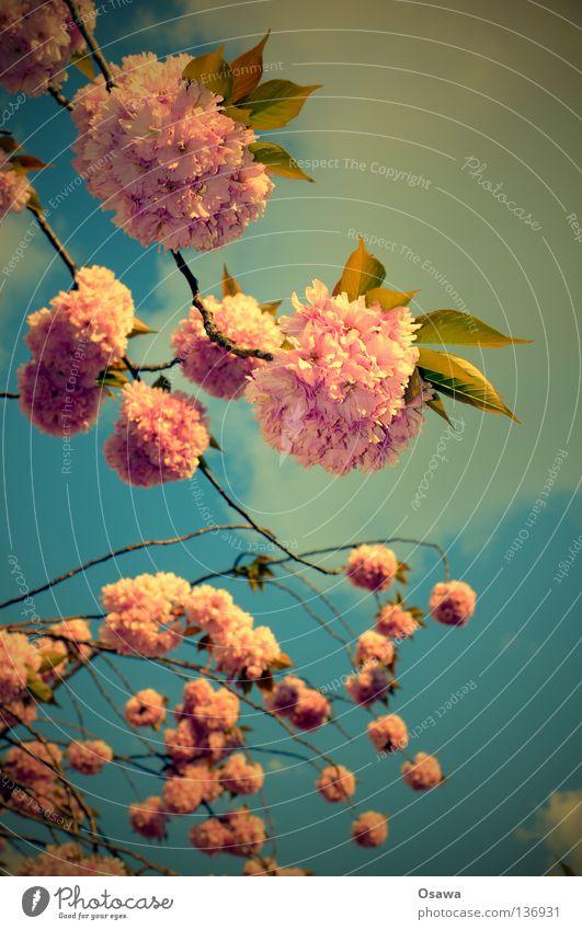 für Rockabella Himmel Baum Blume Blüte Frühling rosa Kitsch Ast Zweig zerbrechlich lieblich