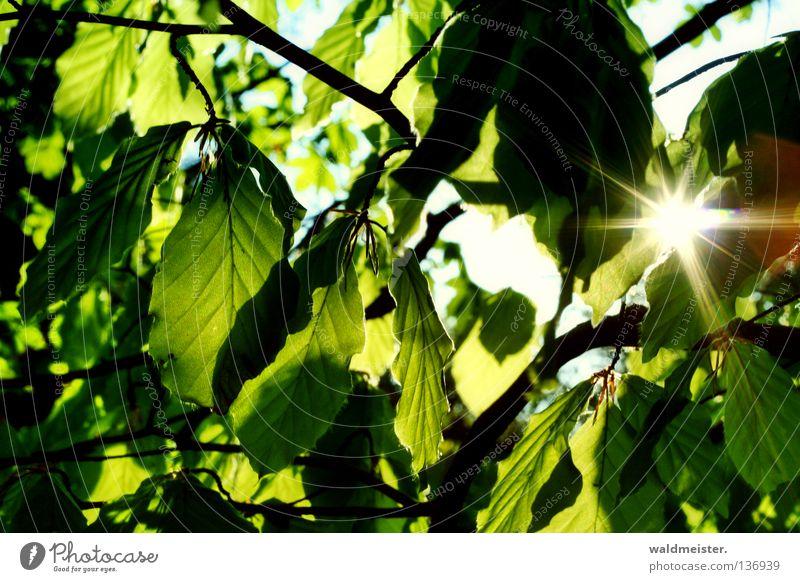 Waldsonne Natur Sonne Blatt ruhig Beleuchtung Park Hoffnung Schönes Wetter Friedhof Blattgrün Buche Photosynthese Blätterdach Rotbuche