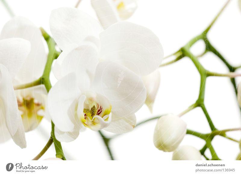 Orchidee Blüte Blume zart Licht weiß Sauberkeit rein Gegenlicht Kostbarkeit Hintergrundbild Urwald Makroaufnahme Nahaufnahme schön Blütenknospen hell Ast