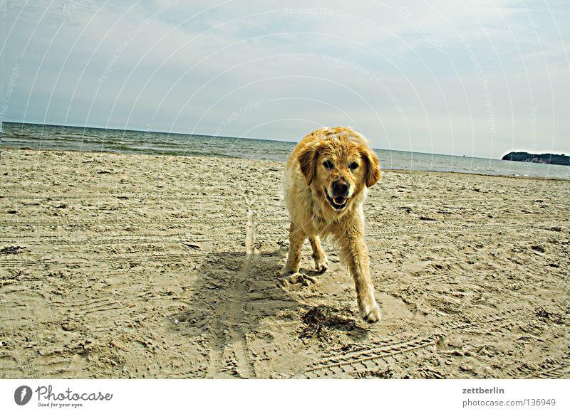 Fremder Hund Platz Golden Retriever Strand Küste Mecklenburg-Vorpommern Ferien & Urlaub & Reisen Horizont Säugetier Sommer sit stöckchen holen Sand Ostsee