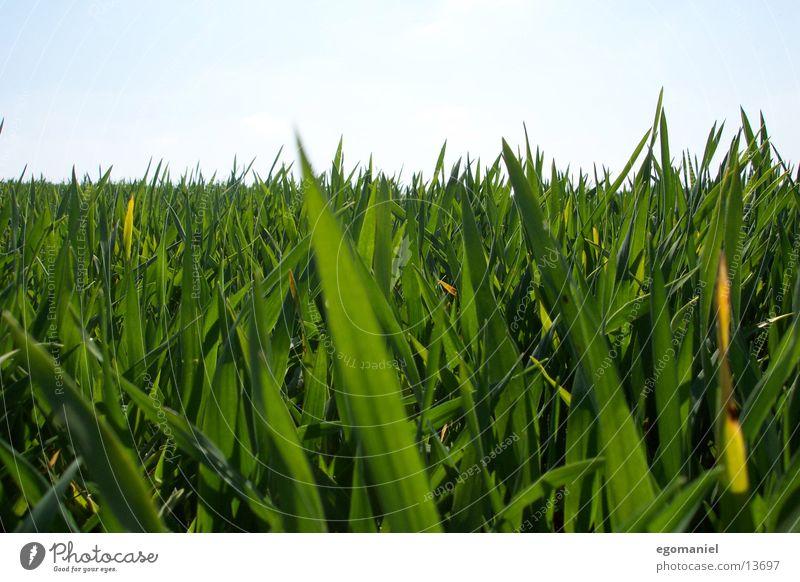 Gras Feld Wiese grün Nahaufnahme Horizont Halm Wachstum Getreide Natur Detailaufnahme Himmel Pflanze sähen gedeien