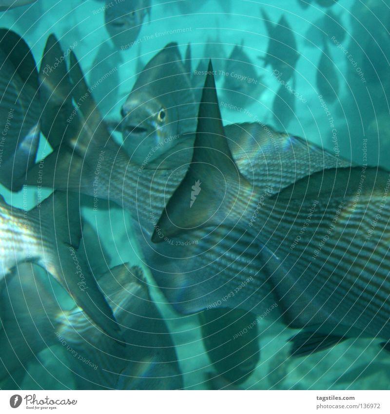 MASSES OF BRACES Wasser blau Sommer Freude Meer Ferien & Urlaub & Reisen Erholung grau Freizeit & Hobby Fisch Schwimmen & Baden Tiergruppe tauchen Asien unten