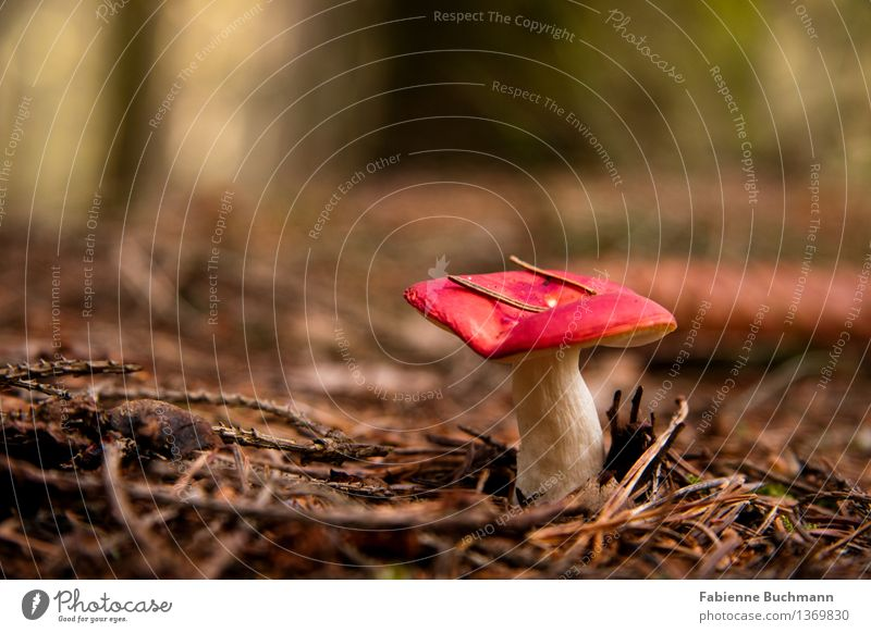 Rotkäppchen Natur Pflanze Erde Herbst Pilz Pilzhut Stengel Tannennadel Tannenzweig Zweig perfekt Wald braun rot weiß ansammeln Farbfoto Außenaufnahme