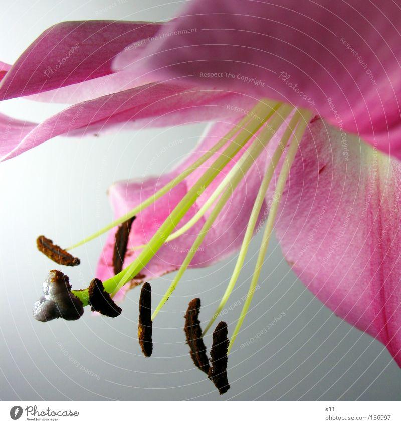 LadyLike Dame Fräulein elegant teuer geschwungen Wellen rosa weiß Blume Blüte Lilien Pflanze Blütenblatt Ecke Am Rand wellig Freisteller frisch schön Pollen