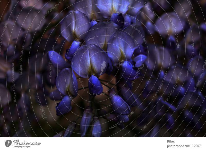 Blauregen. Natur blau schön Pflanze Sommer Blume Blatt Umwelt Frühling Blüte natürlich leuchten Sträucher violett Blühend prächtig