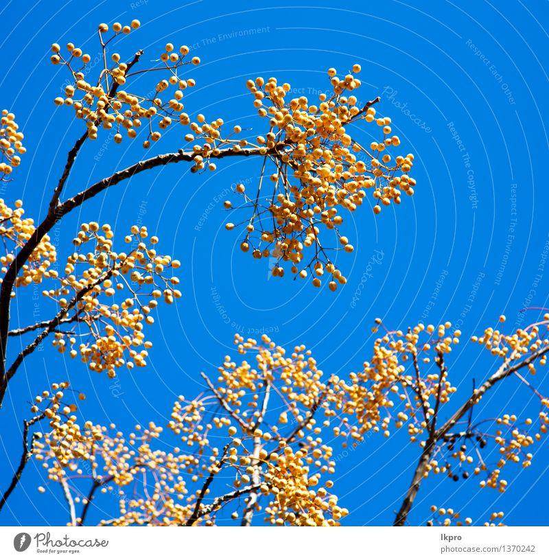 die Baumanlage Marokko Afrika Himmel Natur Pflanze Himmel (Jenseits) schön Sommer Blume Blatt Umwelt gelb Blüte Frühling natürlich Garten Design