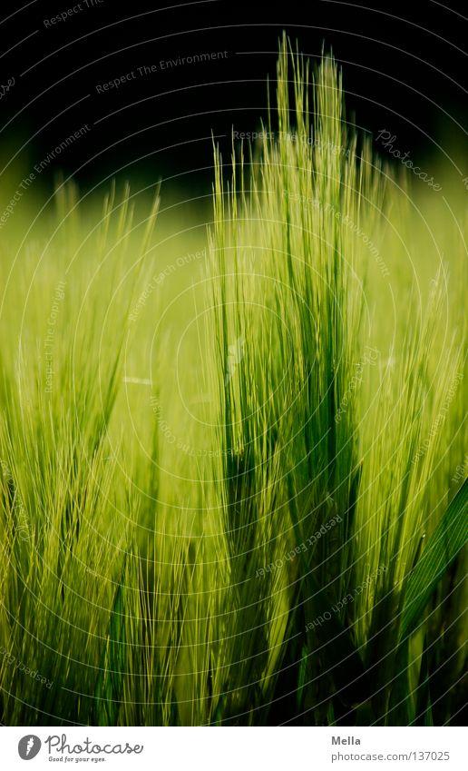 empor Gerste Feld grün Landwirtschaft Frühling Ähren ökologisch Umwelt Gentechnik Wachstum Reifezeit Mai Ackerbau Getreide Korn Biologische Landwirtschaft