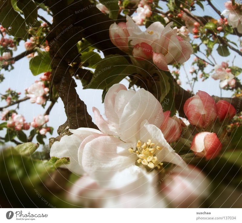 für doritkö Blume Blüte Kirschblüten Baum Frühling Luft Lust Sommer Physik schön Kirschbaum Blütenknospen Ast Wärme Duft Himmel Außenaufnahme