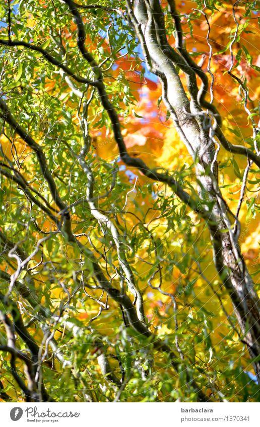 Es herbstelt Natur Landschaft Pflanze Herbst Schönes Wetter Baum Blatt Zweige u. Äste Weide Garten Linie leuchten mehrfarbig Stimmung Farbe Wandel & Veränderung
