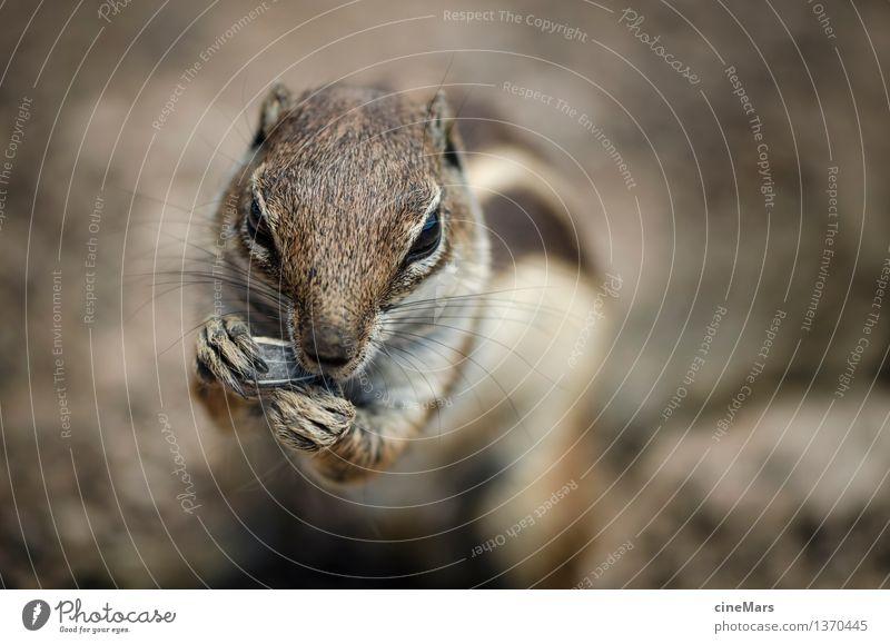 hungry chipmunk Tier Wildtier Streifenhörnchen Eichhörnchen 1 beobachten Essen Fressen genießen stehen elegant nah Neugier niedlich klug Geschwindigkeit braun