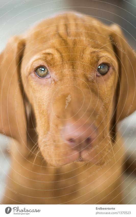 Kein Wässerchen trüben Tier Haustier Hund Tiergesicht 1 Tierjunges schön niedlich weich braun Traurigkeit Müdigkeit Erschöpfung Ben Vizsla dog puppy