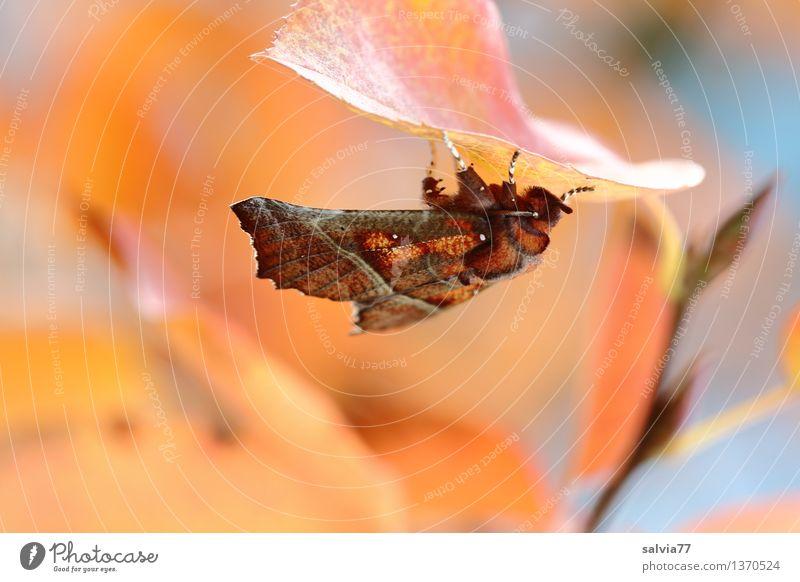 Herbstfalter Natur Pflanze Tier Baum Blatt Zweige u. Äste Herbstfärbung Schmetterling Zackeneule Insekt Eulenfalter Zimteule 1 ästhetisch unten Wärme braun gelb